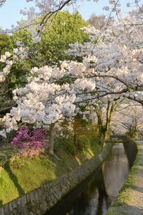 哲学の道 関雪桜の写真素材 [FYI00422627]
