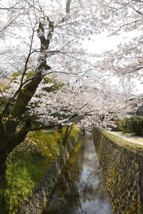 哲学の道 関雪桜の写真素材 [FYI00422630]
