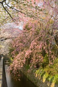 哲学の道 関雪桜の写真素材 [FYI00422631]
