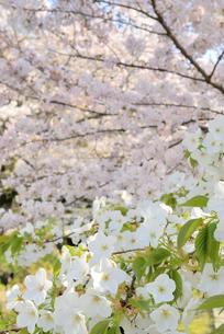 哲学の道 関雪桜の写真素材 [FYI00422632]