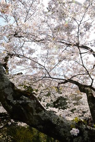 哲学の道 関雪桜の写真素材 [FYI00422635]