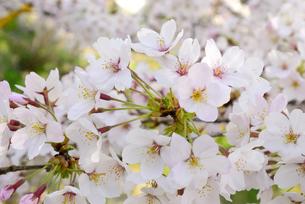 哲学の道 関雪桜の写真素材 [FYI00422636]