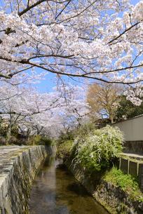 哲学の道 関雪桜の写真素材 [FYI00422637]