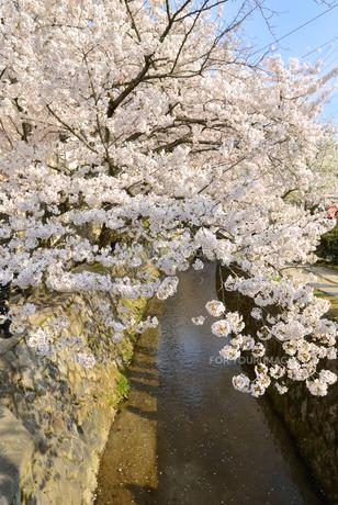 哲学の道 関雪桜の写真素材 [FYI00422639]