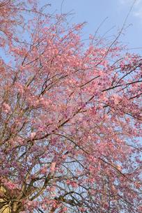 哲学の道 関雪桜の写真素材 [FYI00422641]