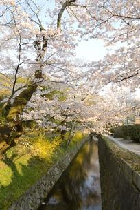 哲学の道 関雪桜の写真素材 [FYI00422644]