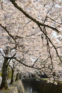 哲学の道 関雪桜の写真素材 [FYI00422645]