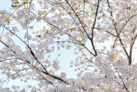 哲学の道 関雪桜の写真素材 [FYI00422647]