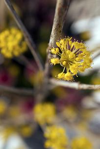サンシュウの花の素材 [FYI00422652]