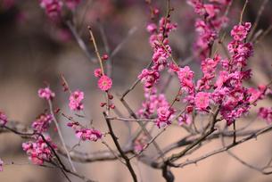 祇園白川 寒紅梅の写真素材 [FYI00422659]
