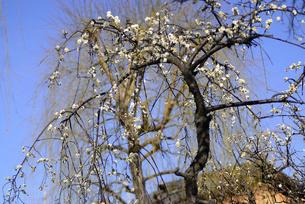 祇園白川 しだれ梅の写真素材 [FYI00422660]