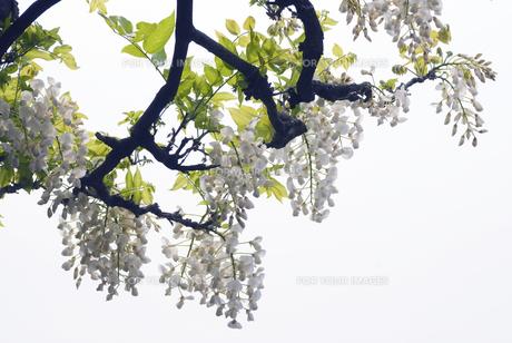 鳥羽の藤 ヤマフジの写真素材 [FYI00422677]