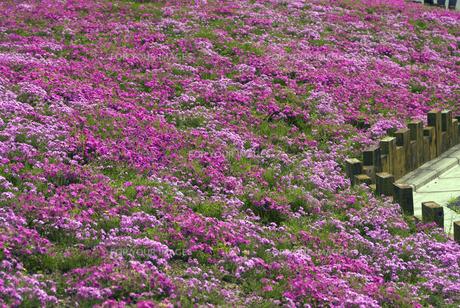 鳥羽の芝桜の写真素材 [FYI00422687]