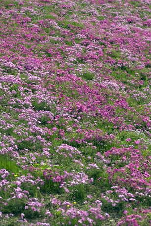 鳥羽の芝桜の写真素材 [FYI00422689]