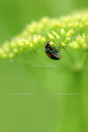 パセリの花にテントウムシの写真素材 [FYI00422810]