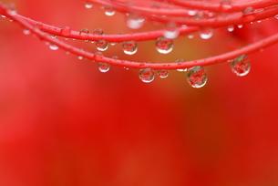 ヒガンバナのシベに付いた水滴(ヨコ位置)の写真素材 [FYI00422817]