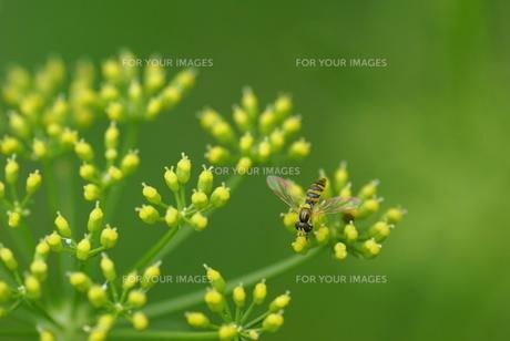 パセリの花にハナアブの素材 [FYI00422821]