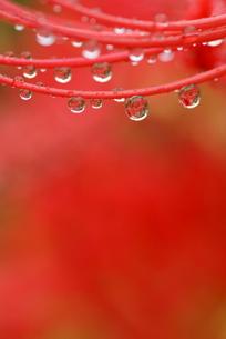 ヒガンバナのシベに付いた水滴(タテ位置)の素材 [FYI00422828]