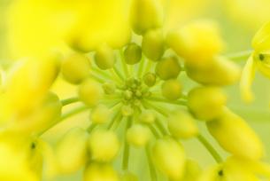 菜の花のつぼみのクローズアップの写真素材 [FYI00423011]