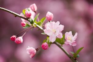 ハナカイドウの花とつぼみの写真素材 [FYI00423012]