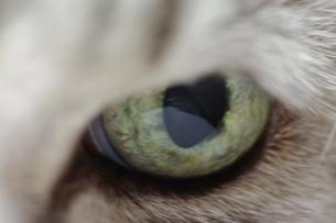 猫の目のクローズアップの素材 [FYI00423047]