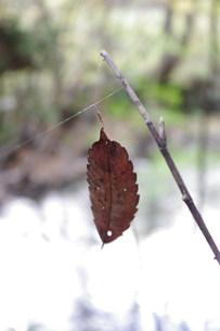 吊るされた枯葉の写真素材 [FYI00423049]