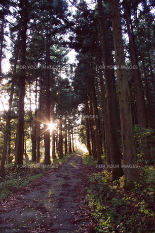 杉並木の夕暮れの写真素材 [FYI00423057]