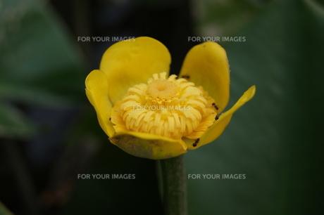 コウホネの花に遊ぶアリの写真素材 [FYI00423101]