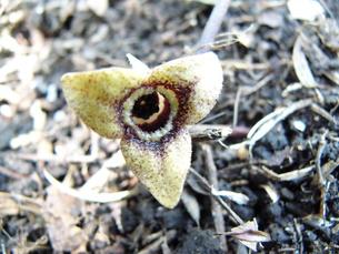 カンアオイの花の写真素材 [FYI00423111]