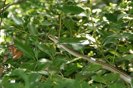 シマヘビの写真素材 [FYI00423116]