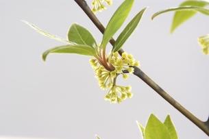 クロモジの若葉と花の素材 [FYI00423120]