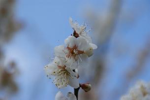 白梅の写真素材 [FYI00423124]