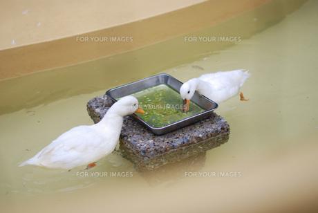 アヒルのお食事の写真素材 [FYI00423179]