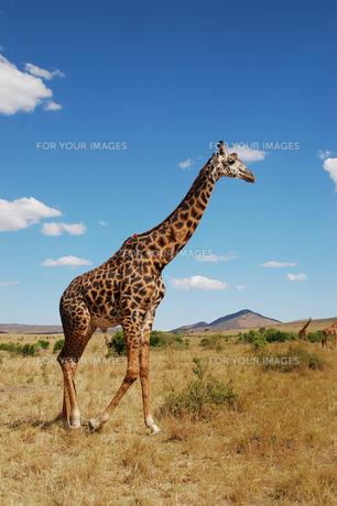 マサイマラのキリンの写真素材 [FYI00423223]
