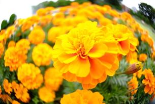 花(マリーゴールド)の写真素材 [FYI00423247]