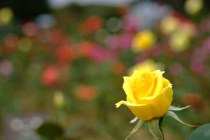 バラの花の写真素材 [FYI00423250]