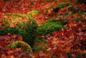 苔の上に散ったもみじの写真素材 [FYI00423259]