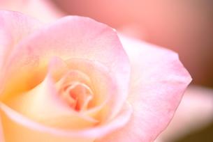 バラの花の写真素材 [FYI00423262]