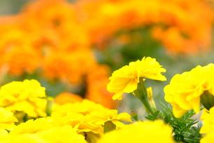 花(マリーゴールド)の写真素材 [FYI00423263]