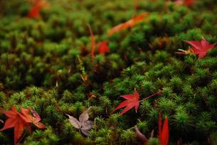 苔の上に散ったもみじの写真素材 [FYI00423264]