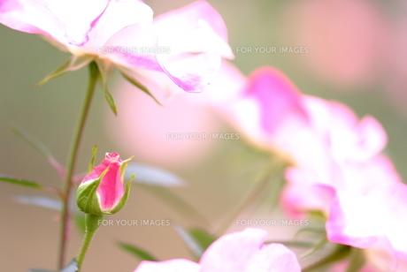 バラの花とつぼみの素材 [FYI00423266]