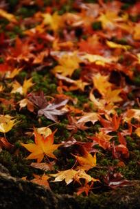 苔の上に散ったもみじの写真素材 [FYI00423268]
