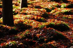 苔の上に散ったもみじの写真素材 [FYI00423278]