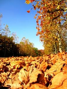 秋のプラタナスの並木の写真素材 [FYI00423284]