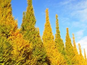 紅葉した銀杏並木の写真素材 [FYI00423292]