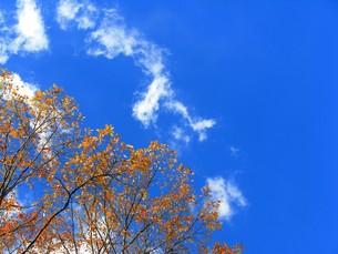 紅葉した樹と青空の写真素材 [FYI00423308]