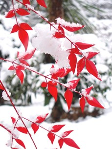 雪をかぶった南天の葉の素材 [FYI00423312]