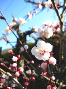 梅の花の写真素材 [FYI00423329]