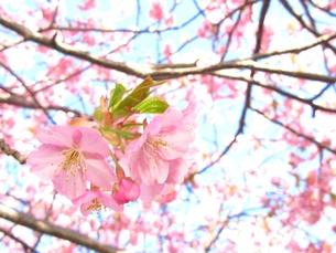 河津桜の写真素材 [FYI00423342]