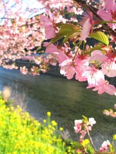 河津桜の写真素材 [FYI00423343]